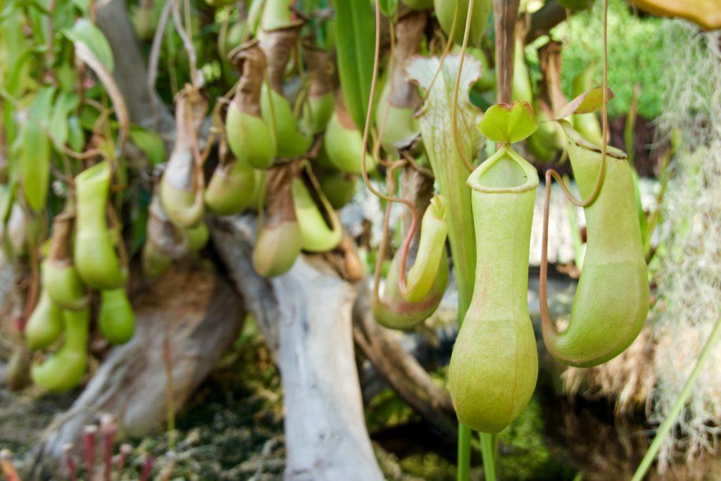 Fleischfressende Pflanzen im Sydney Botanical Garden