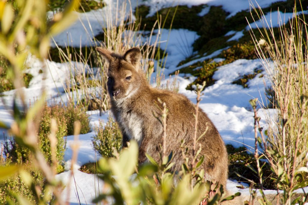Wallaby in Cradle Mountain