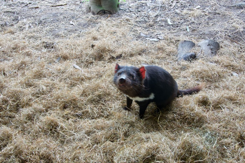 Tasmanische Teufelin