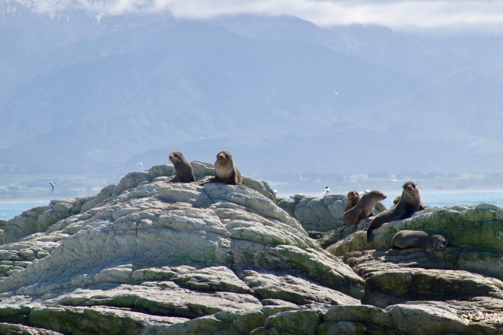 Seal Colony bei Kaikoura