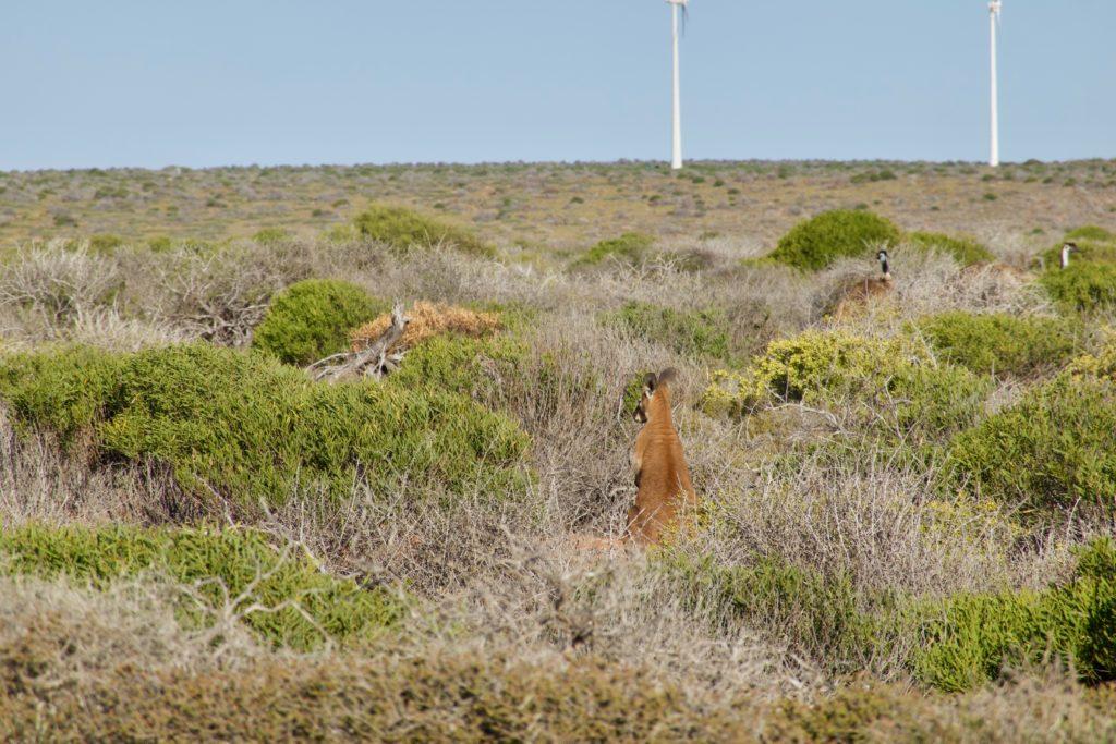 Wallie überblickt die Emus