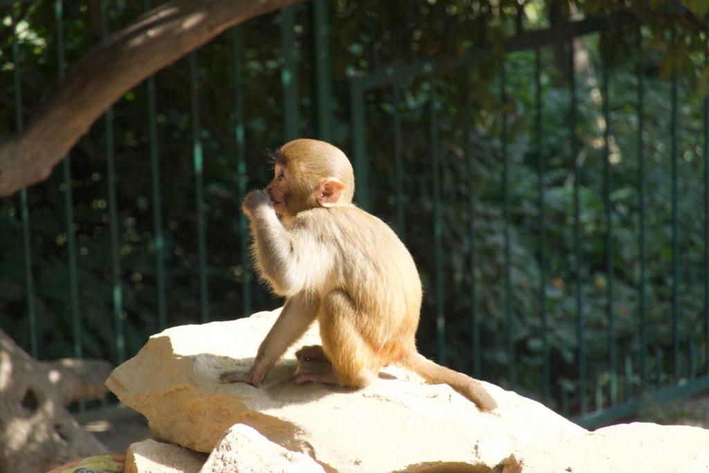 Rhesus-Affe vor dem Monkey-Temple