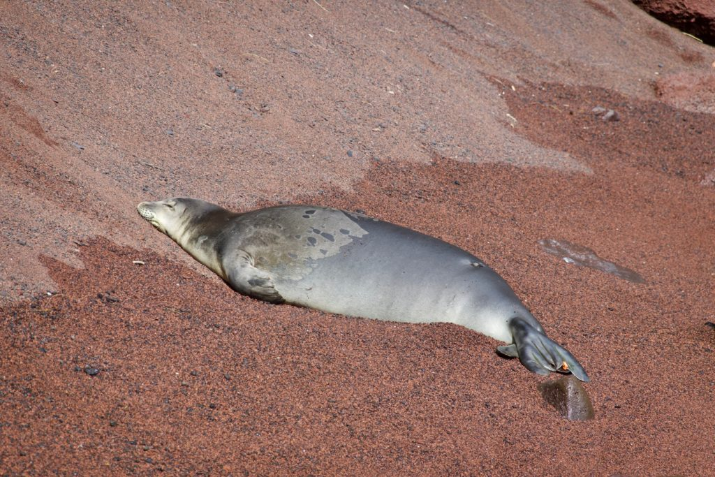 Seal an der Red Beach